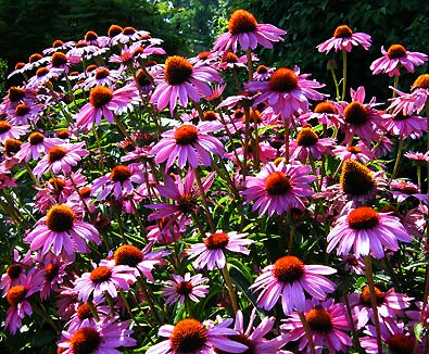 Purple Cone Flowers (Echinacea Purpurea)